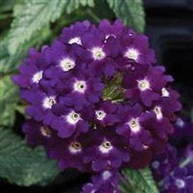 Lascar Dark Violet Verbena