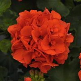 Dynamo Orange Zonal Geranium