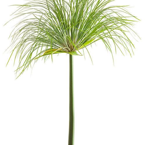 Cyperus Papyrus Prince Tut Grass