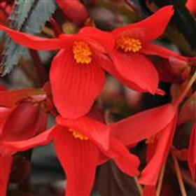 Mistral® Begonia Dark Red
