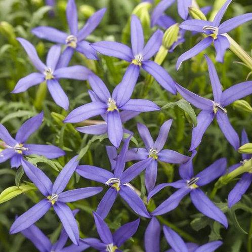 Laurentia Beth's Blue
