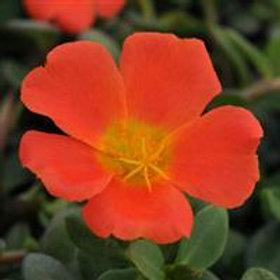 Rio Grande Orange  Purslane