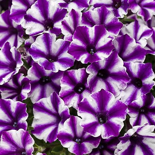 Petunia Vista Violet Star