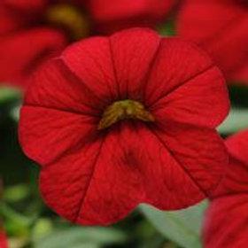Cabaret Bright Red Calibrachoa