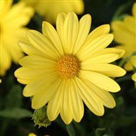 Voltage Yellow Osteospermum
