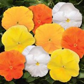 Pansy Matrix Spring Mix Daffodil