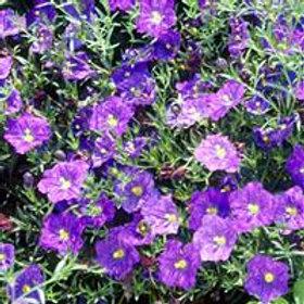 Nierembergia Purple
