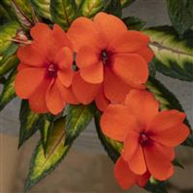 SunPatiens®  Tropical Orange