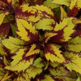 Coleus FlameThrower™