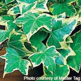 Hedera Goldchild Ivy
