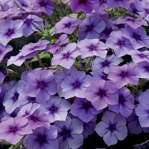 Phlox Intensia Blueberry