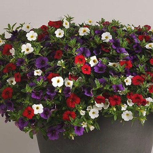 "12"" spirits United calibrachoa mix"