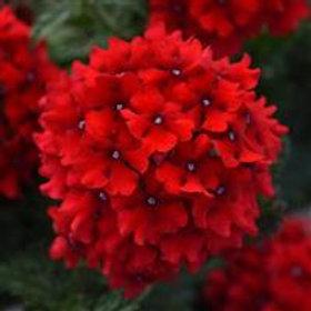 Verbena EnduraScape Red