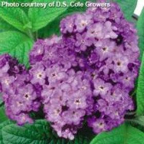 Heliotrope Fragrant Delight