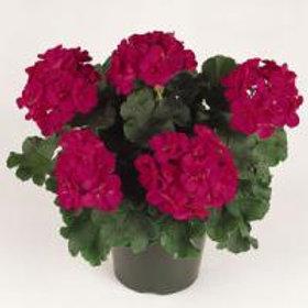 Fantasia Zonal Violet Geranium