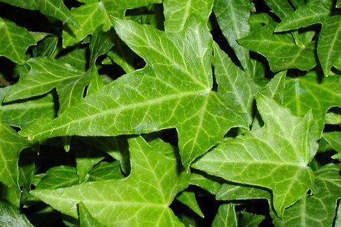 Hedera Needlepoint Ivy
