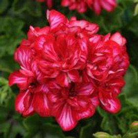 Precision Red Ice Ivy Geranium