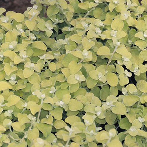 Helichrysum Lemon Licorice Ivy