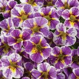 Calibrachoa Holy Smoke