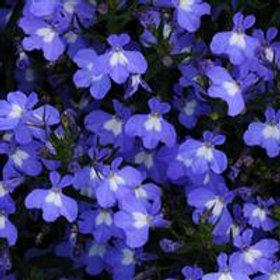 Lobelia Early Spring Sky Blue