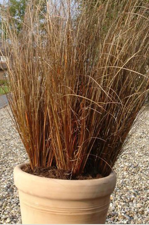 Carex Red Rooster Grass