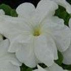 Petunia Limbo White