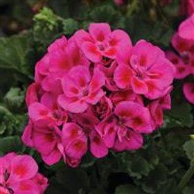 Fantasia Zonal Purple Sizzle Geranium