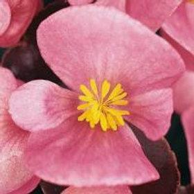 Begonia Harmony Pink