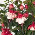 """12"""" Swingtime Trailing Fuchsia Fuchsia"""