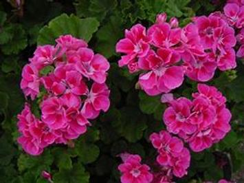 Zonal Strawberry Sizzle Geranium