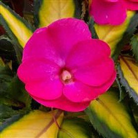 SunPatien Compact Tropical Rose Impatiens