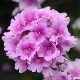 Verbena - Pink Bi-Color