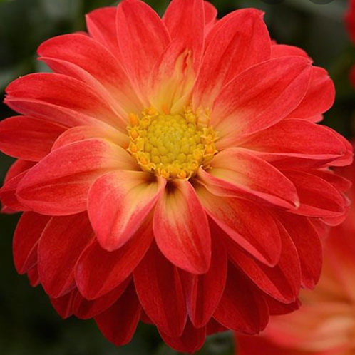 Dahlia Red with Yellow Eye