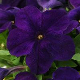 Pretty Grand Petunia Midnight