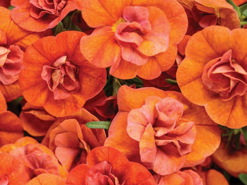 Calibrachoa Double Orange