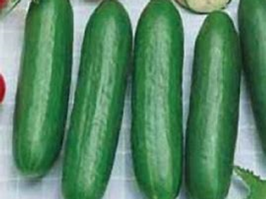 Burpless Bush Cucumber 4 pack