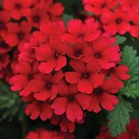 Verbena Lascar Dark Red