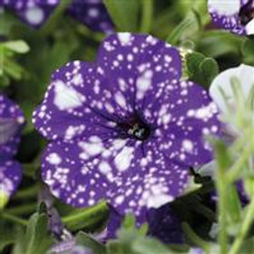 Headliner Night Sky Petunia