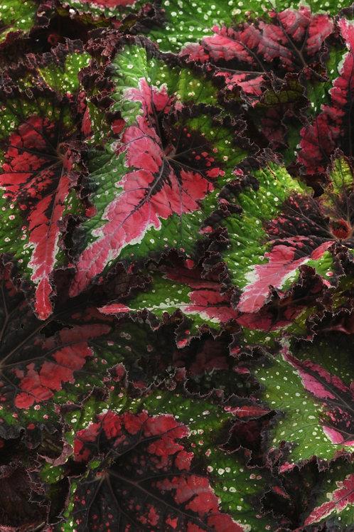 Rex Begonia Jurassic Watermelon