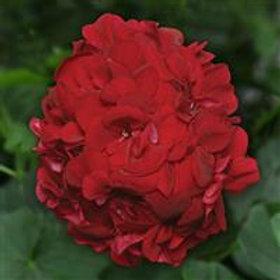 "12"" Ruby Ivy Geranium"