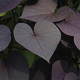 SolarTower™ Ipomoea Black Heart