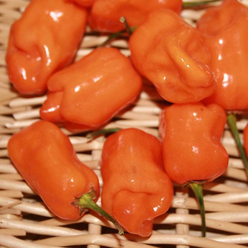 Habanero Pepper Single