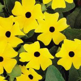 Thunbergia - Lemon Stars