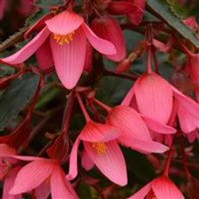Mistral® Begonia Pink
