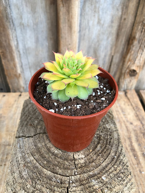 Hens & Chicks - Gold Nugget