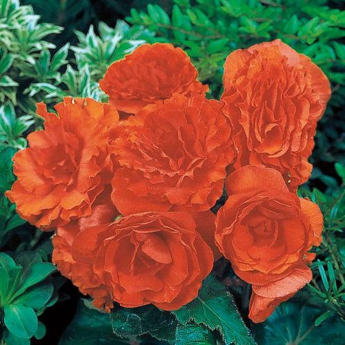 Begonia Nonstop Tuberous  Orange