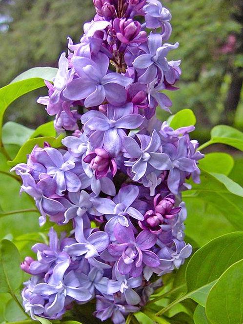 Lilac Nadezhda