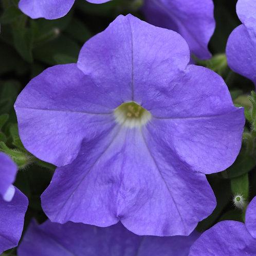 Petunia Wave Sky Blue Lavender