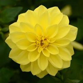 Dalaya Yellow Dahlia