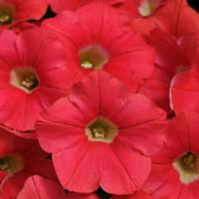 Coral Crush Shock Wave® Spreading Petunia